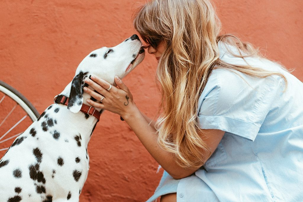 adult black and white pet Dalmatian licking face of his or her owner
